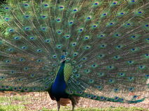 Maschio del pavone Fotografia Stock