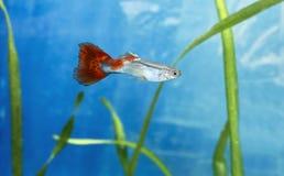 Maschio del pesce del Guppy fotografie stock libere da diritti