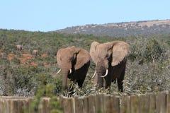 Maschio dell'Africano due degli elefanti Fotografia Stock Libera da Diritti