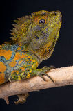 Maschio dell'agama del Chameleon Fotografia Stock Libera da Diritti