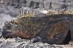 Maschio dell'iguana marina Fotografia Stock Libera da Diritti
