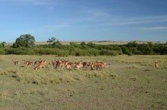 Maschio dell'impala con un gregge delle pecore Fotografia Stock