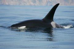 Maschio della balena di assassino Immagini Stock Libere da Diritti