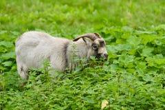 Maschio della capra domestica Fotografia Stock