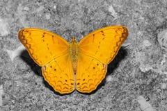 Maschio della farfalla comune del yeoman Fotografie Stock Libere da Diritti