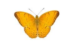 Maschio della farfalla comune del yeoman su bianco Fotografia Stock
