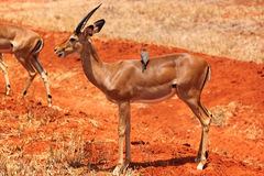 Maschio della gazzella - Safari Kenya Immagine Stock Libera da Diritti