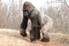 Maschio della gorilla Fotografia Stock