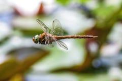 Maschio della libellula Fotografie Stock