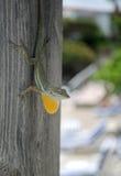 Maschio della lucertola di Anole Immagine Stock