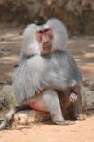 Maschio della scimmia del babbuino Fotografie Stock