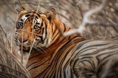 Maschio della tigre ad una bella luce nell'habitat della natura del parco nazionale di Ranthambhore Immagini Stock