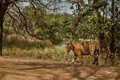 Maschio della tigre ad una bella luce nell'habitat della natura del parco nazionale di Ranthambhore Fotografia Stock