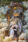 Maschio della trota di autunno nel colore di allevamento Immagini Stock