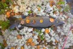 Maschio della trota di autunno nel colore di allevamento Immagini Stock Libere da Diritti