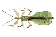 Maschio di bioculatum del Phyllium di specie dell'insetto di foglio Fotografia Stock