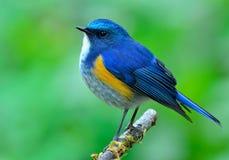 Maschio di Bluetail himalayano (rufilatus del tarsiger) il bello bl Immagine Stock Libera da Diritti
