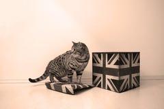 Maschio di Britannici Shorthair Fotografia Stock Libera da Diritti