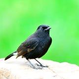Maschio di Bushchart pezzato, il bello uccello nero che sta sul Fotografie Stock