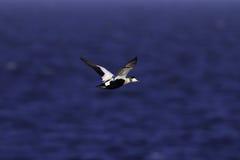 Maschio di Eider in volo Fotografia Stock