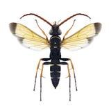 Maschio di lacerticida di Batozonellus della vespa Fotografia Stock Libera da Diritti