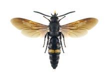 Maschio di rufispina di Scolia della vespa Immagine Stock Libera da Diritti
