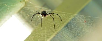 Maschio di seta dorato del ragno del globo-tessitore Immagini Stock