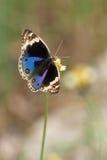 Maschio di wallacei di orithya di Junonia (Pansy blu) Fotografie Stock