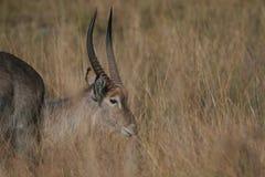 Maschio di Waterbuck nella prateria sudafricana dell'erba Immagini Stock