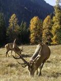 Maschio dominante selvaggio e adulto dei cervi nobili di cervus elaphus fotografia stock libera da diritti