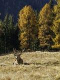 Maschio dominante selvaggio e adulto dei cervi nobili di cervus elaphus fotografie stock