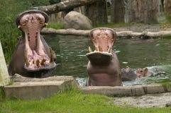 Maschio e femmina del Hippopotamus con la bocca aperta Fotografie Stock