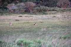 Maschio e femmina di ellipsiprymnus del Kobus fotografie stock libere da diritti