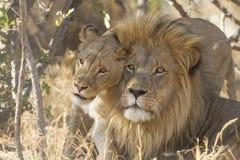 Maschio e leone africano femminile, Sudafrica Immagine Stock Libera da Diritti