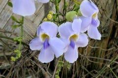 Maschio ed organo riproduttivo femminile dei petali porpora del fiore di Laurifolia di thunbergia e delle sue foglie dietro fotografia stock