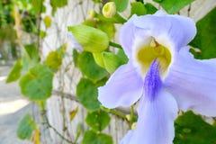 Maschio ed organo riproduttivo femminile dei petali porpora del fiore di Laurifolia di thunbergia e delle sue foglie dietro fotografia stock libera da diritti