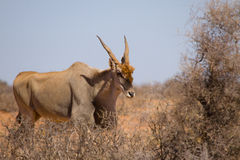 Maschio Eland comune - oryx del Taurotragus fotografie stock libere da diritti