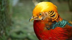 Maschio elegante magnifico del fagiano dorato rosso cinese, Chrysolophus Pictus all'aperto uccello esotico selvaggio in natura re archivi video