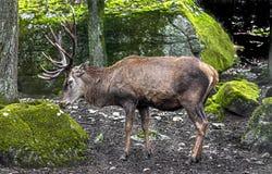 Maschio europeo dei cervi nobili Fotografie Stock