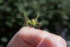 Maschio macchiato del cricket di Bush a disposizione Fotografia Stock