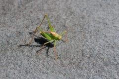 Maschio macchiato del cricket di Bush su tappeto Fotografia Stock Libera da Diritti