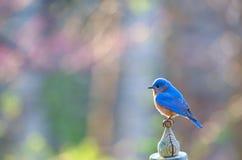 maschio orientale del bluebird Fotografie Stock Libere da Diritti