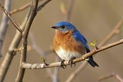 Maschio orientale del Bluebird Fotografia Stock
