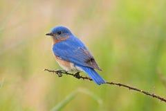 Maschio orientale dell'uccellino azzurro Fotografia Stock