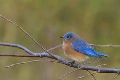 Maschio orientale dell'uccellino azzurro Fotografie Stock Libere da Diritti