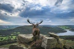 Maschio potente dei cervi nobili nella scena del paesaggio della campagna che guarda ou Fotografia Stock
