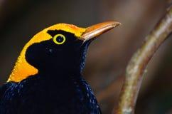Maschio reggente dell'uccello di capanna Fotografia Stock Libera da Diritti