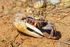 Maschio a Ria Formosa Natural Park, Portogallo del granchio di Fiddler fotografia stock libera da diritti