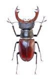 Maschio-scarabeo isolato Immagine Stock Libera da Diritti