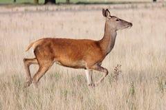 Maschio selvaggio dei cervi nobili in parco folto Immagini Stock